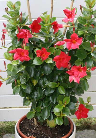 flora emslandia familie apocynaceae hundsgiftgew chse. Black Bedroom Furniture Sets. Home Design Ideas